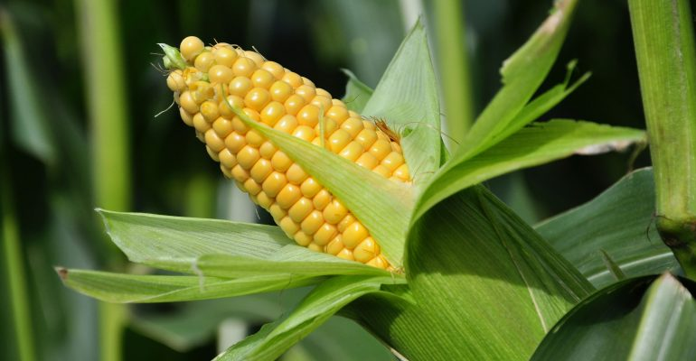 Maize Nutrition Facts