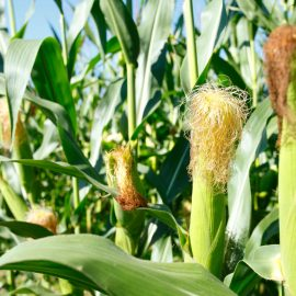 Top 10 Largest Maize Producing Countries in the world