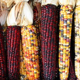 Types and uses of maize